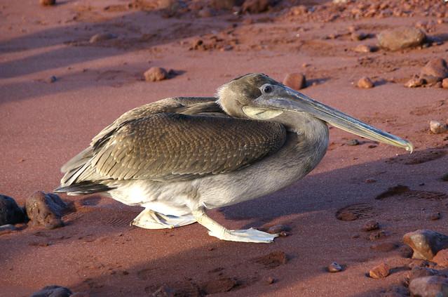 brown pelican Rabida Galapagos