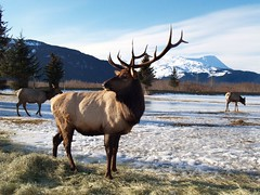 Elk in Alaska - 15,000 views of this image