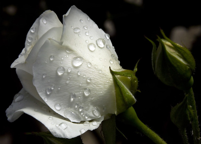White rose and ...