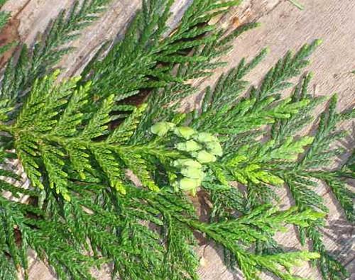 western red cedar leaves and conesWestern Red Cedar Cones