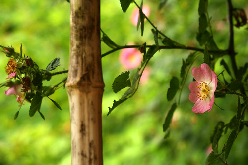 Trailing Roses