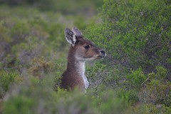 wallaby(0.0), deer(0.0), white-tailed deer(0.0), grassland(0.0), animal(1.0), prairie(1.0), fauna(1.0), musk deer(1.0), wildlife(1.0),
