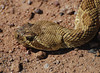 "<a href=""http://www.flickr.com/photos/jroldenettel/1410280860/"">Photo of Crotalus scutulatus by Jerry Oldenettel</a>"