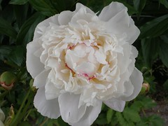 Single Peony Flower