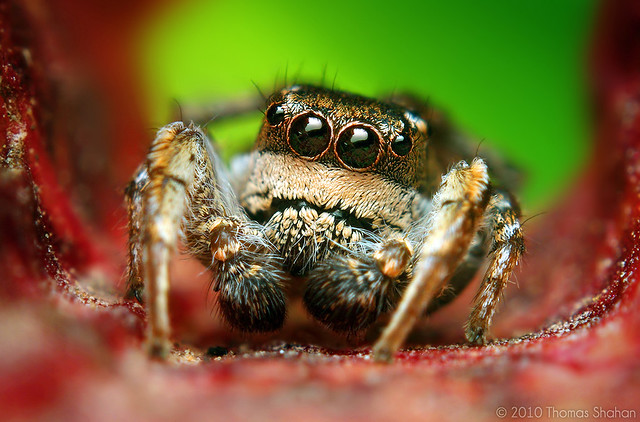 Adult Male Habronattus cognatus Jumping spider