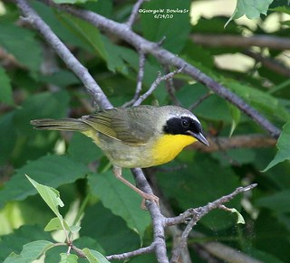 Common Yellowthroat by George W. Bowles Sr
