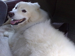 dog breed, animal, dog, pet, maremma sheepdog, carnivoran, great pyrenees, samoyed,