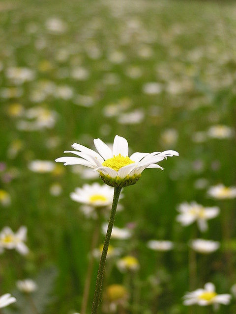 Field of daisies | Flickr - Photo Sharing! Field Of Daisies