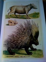echidna, animal, monotreme, erinaceidae, fauna,