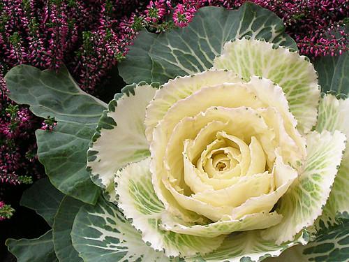 Stockholm - Cabbage flower