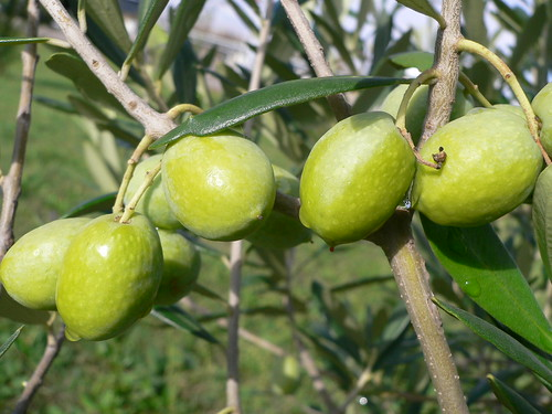 Olives for Italian  extravirgin olive oil