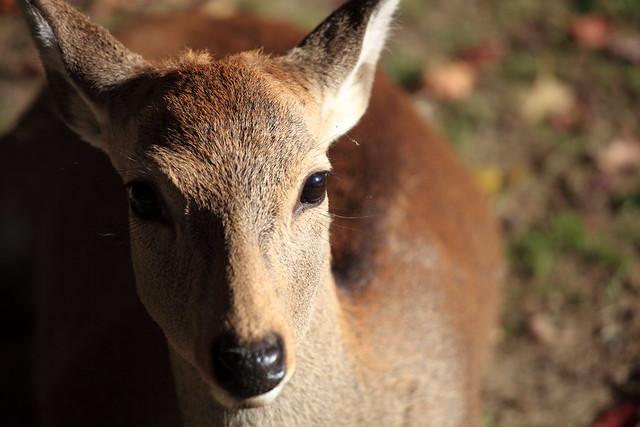 Deer / 鹿(しか)
