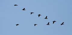 perching bird(0.0), animal migration(1.0), animal(1.0), wing(1.0), fauna(1.0), flock(1.0), bird migration(1.0), crane(1.0), sky(1.0), bird(1.0), flight(1.0),
