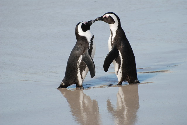 A pair of African penguins, Boulders Beach, South Africa