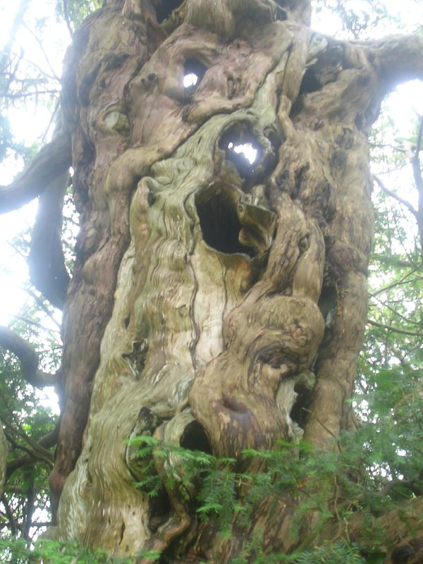 Crowhurst Yew one of two trunks Crowhurst to Battle