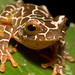 Amazon Giraffe Frog