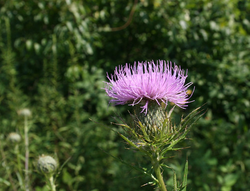 Field thistle, Cirsium discolor