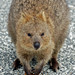 Friendly Quokka