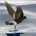 Wilson's Storm-Petrel - Photo (c) Patrick Coin, some rights reserved (CC BY-NC-SA)