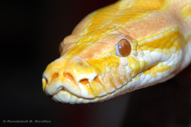 Albino Burmese Python | Flickr - Photo Sharing!