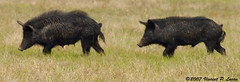 cattle-like mammal(0.0), peccary(0.0), bison(0.0), animal(1.0), wild boar(1.0), pig(1.0), fauna(1.0), pig-like mammal(1.0),