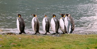 Königs Pinguine