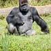 Gorilla Gorilla ©e_cathedra