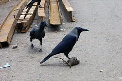 pigeons and doves(0.0), raven(0.0), blue(0.0), magpie(0.0), animal(1.0), crow(1.0), fauna(1.0), american crow(1.0), beak(1.0), bird(1.0), wildlife(1.0),