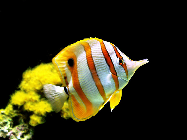 Butterfly fish freshwater care for Butterfly fish freshwater