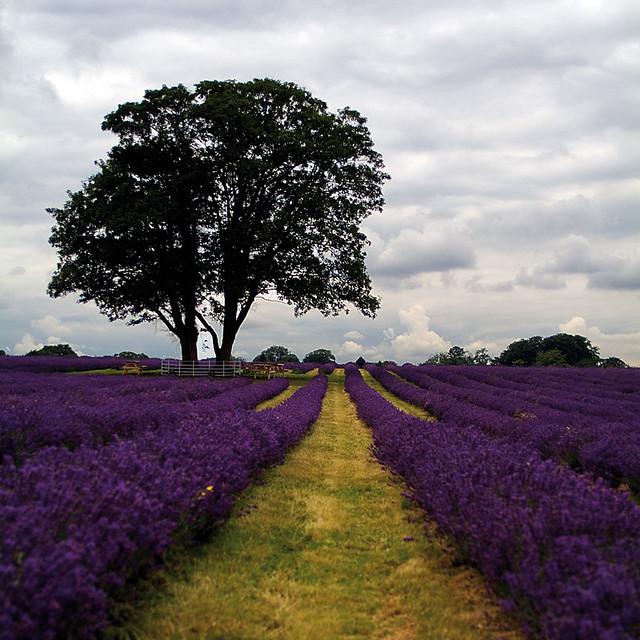 picnic tree in lavender field flickr photo sharing