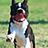 the Boston Terrier • Brasil group icon