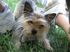 dog breed, animal, dog, pet, mammal, vulnerable native breeds, biewer terrier, norwich terrier, cairn terrier, australian terrier, yorkshire terrier, terrier,
