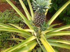 arecales(0.0), flower(0.0), tree(0.0), elaeis(0.0), pineapple(1.0), flora(1.0), produce(1.0), fruit(1.0), food(1.0),