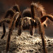 Tarantulas - Photo (c) matt knoth, some rights reserved (CC BY-NC-ND)