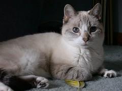 domestic long-haired cat(0.0), kitten(0.0), british semi-longhair(0.0), khao manee(0.0), pixie-bob(0.0), american shorthair(0.0), nebelung(0.0), manx(0.0), animal(1.0), small to medium-sized cats(1.0), pet(1.0), burmilla(1.0), european shorthair(1.0), javanese(1.0), tonkinese(1.0), cat(1.0), carnivoran(1.0), whiskers(1.0), balinese(1.0), domestic short-haired cat(1.0),