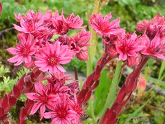 bee balm(0.0), nerine sarniensis(0.0), peruvian lily(0.0), annual plant(1.0), shrub(1.0), flower(1.0), plant(1.0), scarlet beebalm(1.0), wildflower(1.0), flora(1.0), pink(1.0),