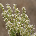 Coyote Brush - Photo (c) NatureShutterbug, all rights reserved