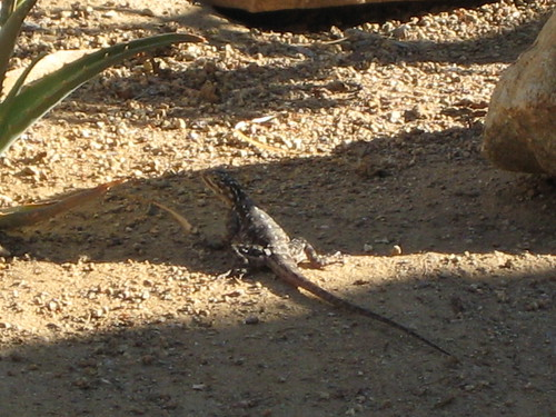 And another lizard