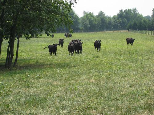 black cattle cows angus pasture dsu