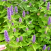 Small photo of Agastache foeniculum