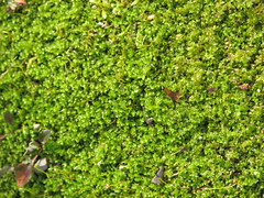 leaf, plant, herb, produce, hedge, vegetation, groundcover, moss,