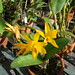 Cattleya aurantiaca var. amarela Miami