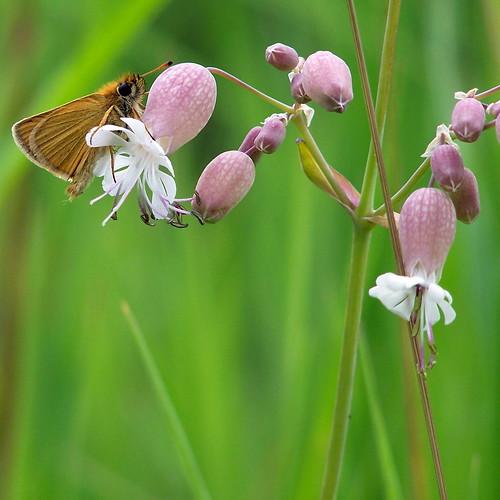 butterfly vermont butterflies greensboro bladdercampion europeanskipper thymelicuslineola