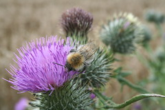animal, flower, thistle, plant, invertebrate, macro photography, membrane-winged insect, wildflower, flora, fauna, silybum, artichoke thistle, close-up, bee, bumblebee,