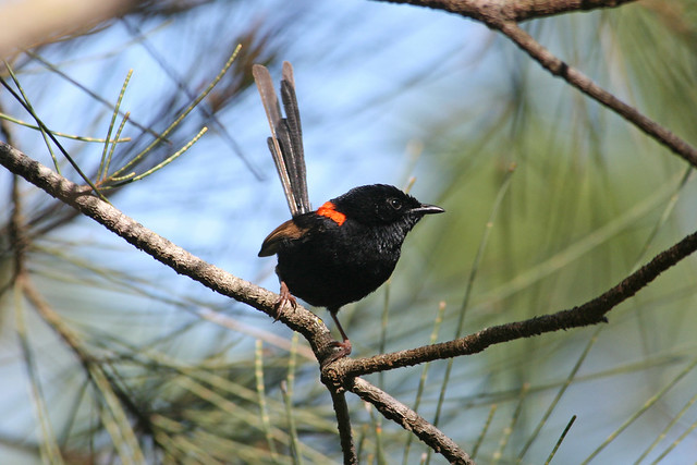 Male Red-Backed Fairy Wren