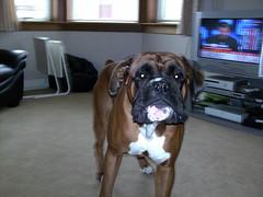 dog breed(1.0), animal(1.0), dog(1.0), pet(1.0), guard dog(1.0), carnivoran(1.0), boxer(1.0), bullmastiff(1.0),