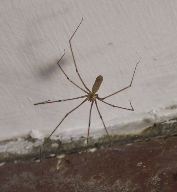 long bodied cellar spider pholcus phalangioides a photo on