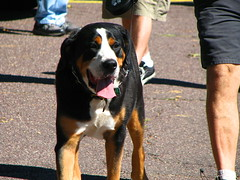 dog breed, animal, dog, appenzeller sennenhund, pet, mammal, greater swiss mountain dog, entlebucher mountain dog,