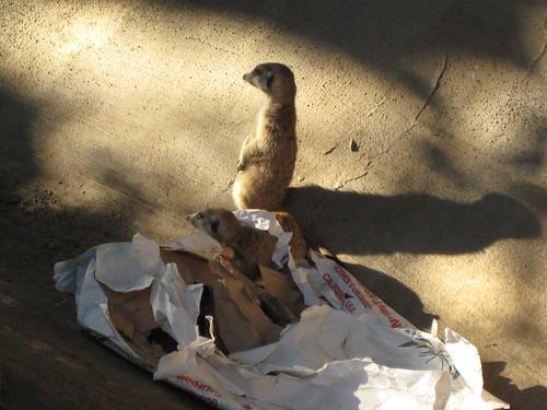 Meerkats and paper bag