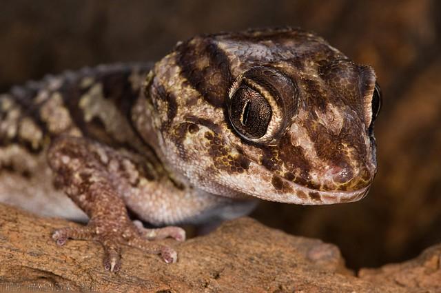 Peroedura picta - Pictus Gecko